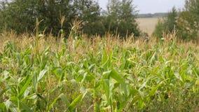 Feld mit reifem Mais, die Bearbeitung von den landwirtschaftlichen Kulturen, die in den Wind beeinflussen stock footage