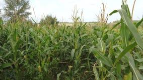 Feld mit reifem Mais, die Bearbeitung von Ernten, beeinflussend in den Wind stock video footage