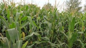 Feld mit reifem Mais, die Bearbeitung von Ernten, beeinflussend in den Wind stock footage