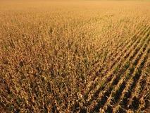 Feld mit reifem Mais Trockene Stiele von Mais Ansicht des Getreidefelds von oben Maisplantage, reife Pfeiler, bereiten vor, um zu Lizenzfreies Stockfoto