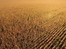 Feld mit reifem Mais Trockene Stiele von Mais Ansicht des Getreidefelds von oben Maisplantage, reife Pfeiler, bereiten vor, um zu stockfotos