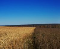 Feld mit reifem Weizen nahe bei nicht gepflogenem Feld lizenzfreie stockfotos