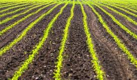 Feld mit Reihen von maiz Stockbild