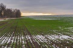 Feld mit Reihen von Winterfrüchten an der herbstlichen Jahreszeit in Ukraine Stockbild