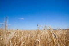 Feld mit Roggen Lizenzfreies Stockbild