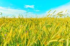 Feld mit Roggen und Blumen Lizenzfreie Stockfotos