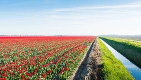 Feld mit roten blühenden Tulpen nahe bei einem Abzugsgraben Stockfotos