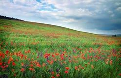 Feld mit roten Mohnblumen Lizenzfreies Stockfoto