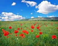 Feld mit roten Mohnblumen Stockbild