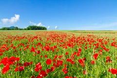 Feld mit roten Mohnblumen Lizenzfreie Stockfotos