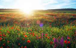Feld mit roten Mohnblumen, bunte Blumen gegen den Sonnenuntergang Lizenzfreies Stockfoto