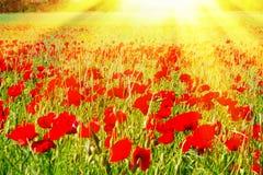Feld mit roten Mohnblumen in der Sonne Lizenzfreie Stockfotos