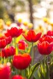 Feld mit roten Tulpen stockfoto