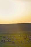 Feld mit Schafen Lizenzfreie Stockfotos