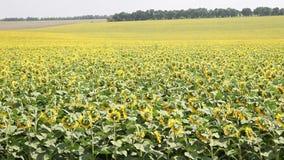Feld mit Sonnenblumen stock video footage