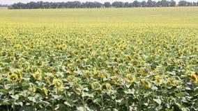 Feld mit Sonnenblumen stock footage