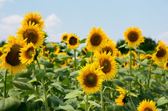 Feld mit Sonnenblumen Stockfoto