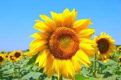 Feld mit Sonnenblumen Lizenzfreie Stockfotos