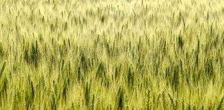 Feld mit unreifem Grünkern Stockfoto