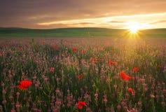 Feld mit violetten Blumen und roten Mohnblumen gegen den Sonnenunterganghimmel Stockbild