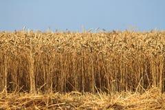 Feld mit Weizen Stockbild