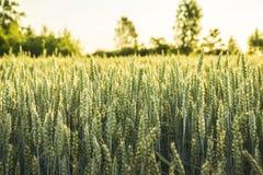 Feld mit Weizen Lizenzfreie Stockbilder