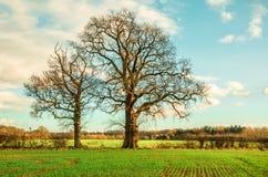 Feld mit zwei bloßen Bäumen stockfotos