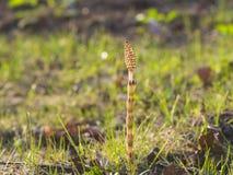Feld oder Ackerschachtelhalm, Equisetum arvense, Makro mit bokeh Hintergrund, flacher DOF, selektiver Fokus Lizenzfreie Stockfotografie