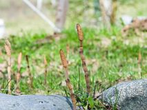 Feld oder Ackerschachtelhalm, Equisetum arvense, Makro mit bokeh Hintergrund, selektiver Fokus, flacher DOF Stockfotografie
