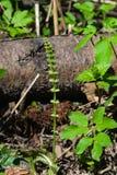Feld oder Ackerschachtelhalm, Equisetum arvense, Triebe Makro mit bokeh Hintergrund, flacher DOF, selektiver Fokus Stockbilder