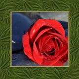 Feld Rosa-Pendulina Stockfoto
