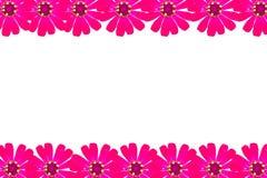 Feld rosa Zinnia Lizenzfreies Stockfoto