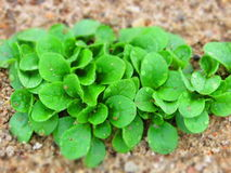 Feld salad growing field fresh green salad leaves with drops. Of water Royalty Free Stock Image