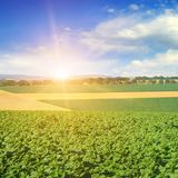 Feld sunflower sprouts and sunrise on sky. Agricultural landscape Royalty Free Stock Image
