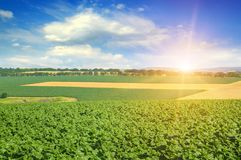 Feld sunflower sprouts and sunrise on sky. Agricultural landscape Stock Images
