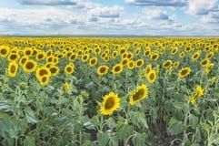 Feld of sunflowers on blue sky Stock Photo