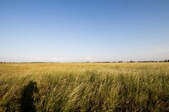 Feld of tall grass moved by the wind at sunset. Shadow of a phot stock photo