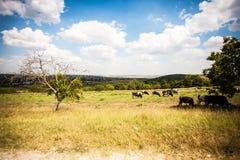 Feld und Kühe in Moldau Lizenzfreies Stockfoto