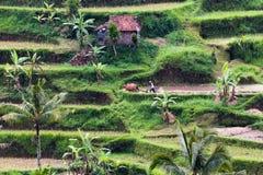 Feld und Landwirt in Bali lizenzfreie stockbilder