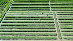 Feld und Landwirt der roten Zwiebel Lizenzfreies Stockfoto