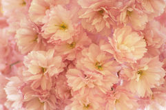 Feld voll mit Kirschblüte Stockfotos