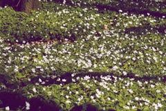 Feld voll von Anemonen Stockbild