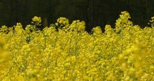 Feld voll von den gelben Blumen mit dunklem Hintergrund stock video footage