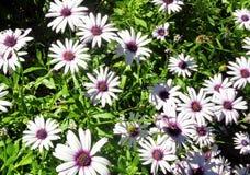 Feld von afrikanische Gänseblümchen Osteospermum-Dimorphotheca Ecklonis 2 lizenzfreies stockfoto