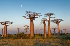 Feld von Baobabs stockfotos