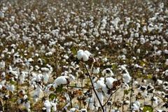 Feld von Baumwolle Stockfotos