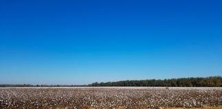 Feld von Baumwolle Geschossen in Georgia stockbilder