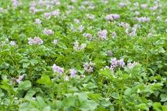 Feld von blühenden Kartoffeln stockbild