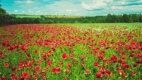 Feld von blühenden Mohnblumen, etwas Bewegung stock video