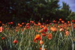 Feld von blühenden Mohnblumenblumen stockfotos